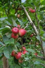rozwinięte drzewo jabłoni