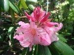 Różowe kwiaty rododendronu