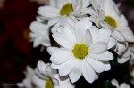 białe chryzantemy