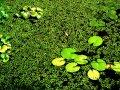 Glony w oczku wodnym